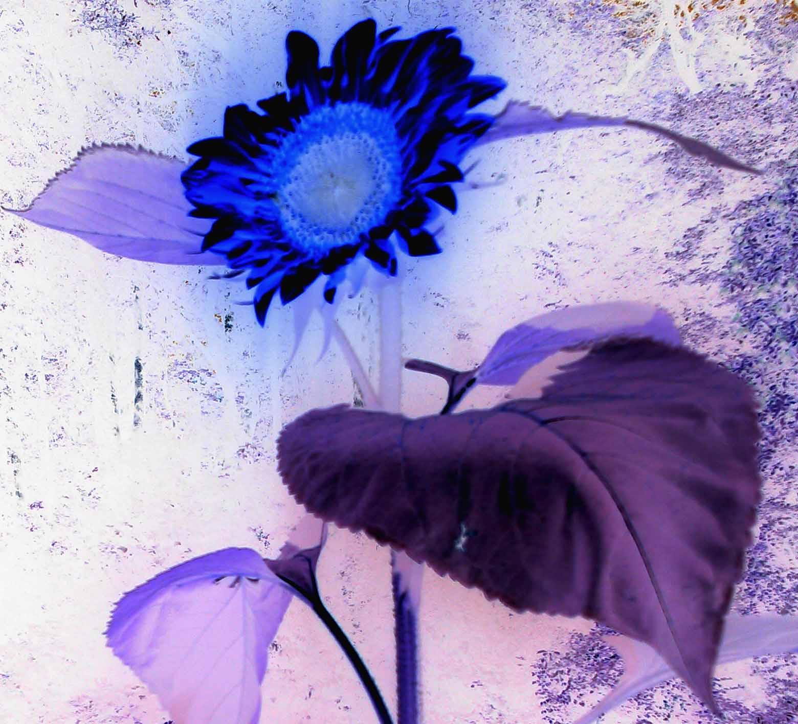 blue_lila